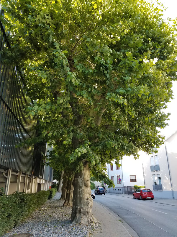 Sycamore tree found in Bensheim, Germany