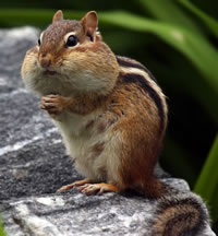 Chipmunk Cheeks