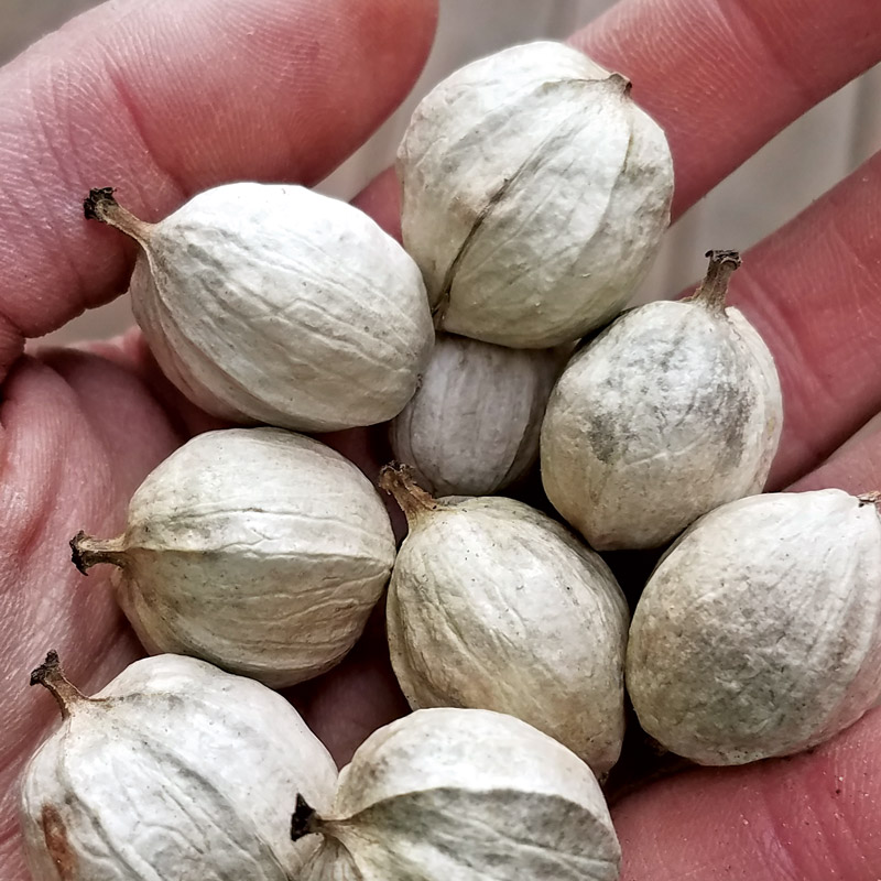 hand full of hickory nuts