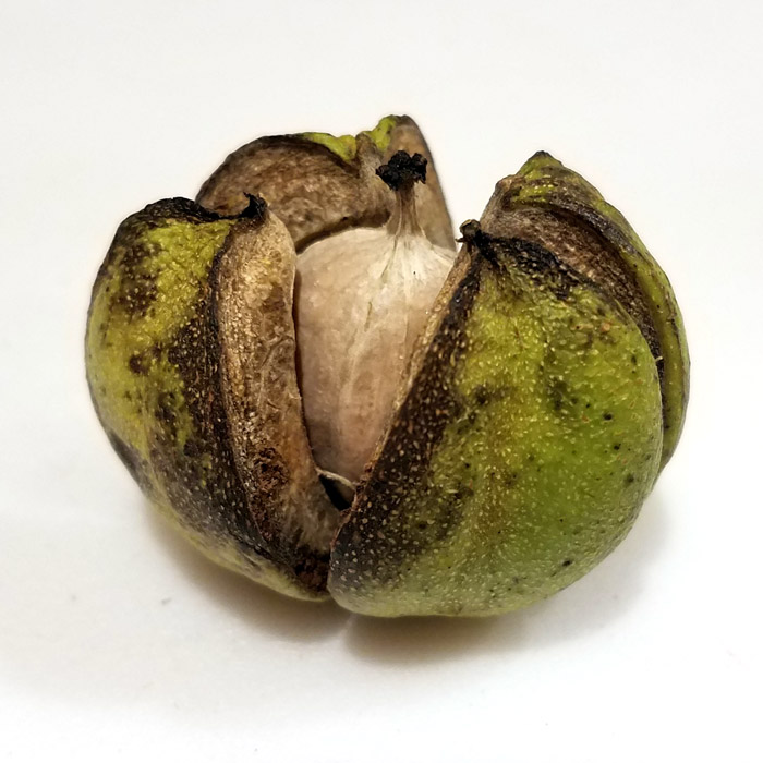 Hickory Nut in a Husk