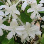 Honeysuckle Invasive Plant