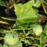 Wild Cucumber